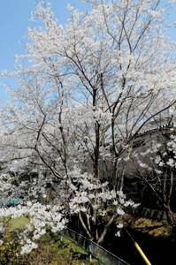 満開を迎えた鹿島川沿いの桜。例年にない美しさで咲き誇る=設楽町田口で