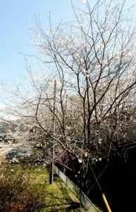同じ場所で昨年撮影した桜。満開というのに花はまばら=設楽町田口で