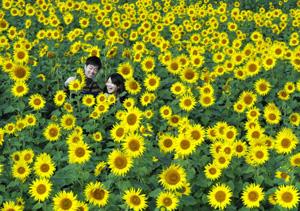 大輪の花を一面に咲かせるヒマワリ=東近江市妹町で
