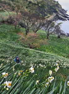 寒風の中、山の斜面を覆うように愛らしく咲く越前水仙(右奥は呼鳥門)=越前町梨子ケ平で