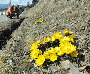 黄色の花を咲かせ春の訪れを告げるフクジュソウ=辰野町沢底で