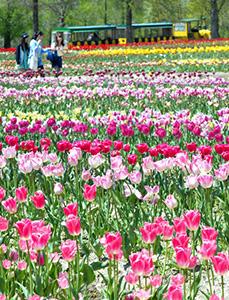 一面に咲き誇り、来園者を楽しませるチューリップ=日野町のブルーメの丘で