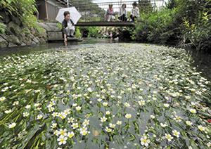 水面にかれんな花を咲かせるバイカモ=米原市醒井で
