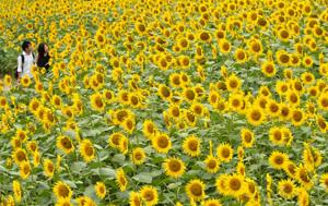 農場一帯に大輪の花を咲かすヒマワリ=阿南町の平石農場で