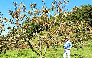 山本隆さん方の柿の木畑。色づき始めた実が収穫の時を待つ=石川県宝達志水町山崎で