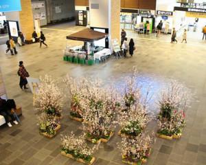 富山駅自由通路にお目見えした富山市山田地区特産の「啓翁桜」の生け花
