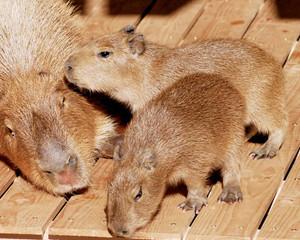 18日から公開されるカピバラの双子の赤ちゃん=いしかわ動物園提供
