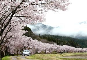 名倉川に沿って約2キロ続くコヒガンザクラ並木=昨年