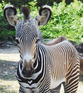 胸元にハート模様があるグレビーシマウマの赤ちゃん=いしかわ動物園提供