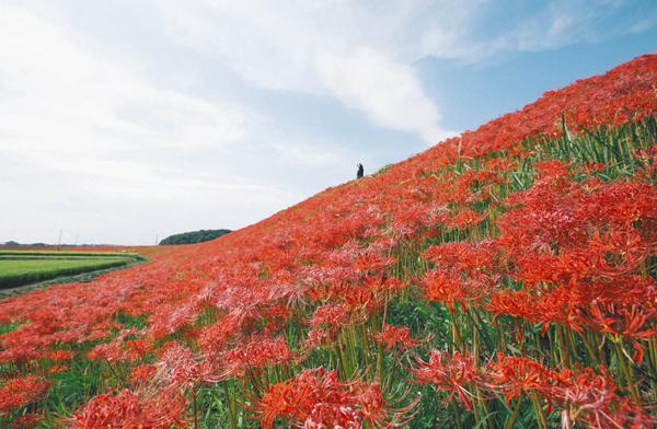 矢勝川沿いを彩るヒガンバナ=愛知県半田市観光協会提供(2015年)