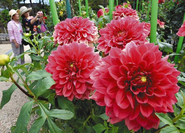 園内を華やかに彩る大輪のダリア=滋賀県日野町の日野ダリア園で(昨年)