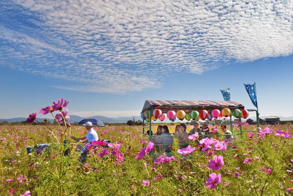 秋空の下、花トラ車に乗ってコスモスを観賞する人たち=福井市の宮ノ下コスモス広苑で(昨年)