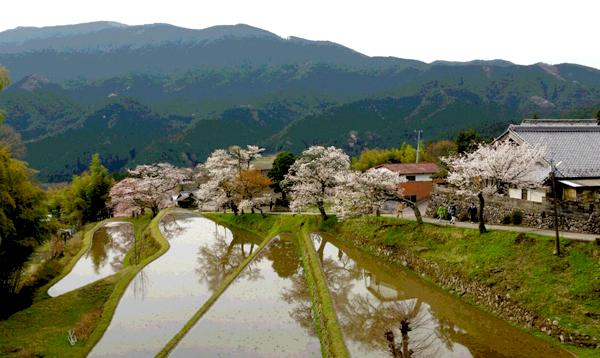「三多気の桜」で吟行会開く団体