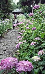 山門へ続く石畳の参道に咲き誇るアジサイ=幸田町の本光寺で