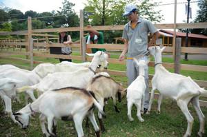 放牧地で餌を食べるヤギたち=美濃加茂市山之上町の日本昭和村で