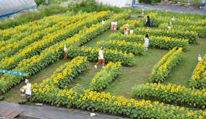 黄色い花が満開のヒマワリ迷路=平谷村で