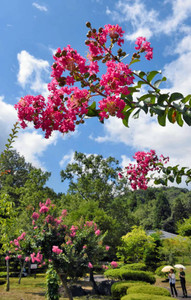 青空に映え、訪れた人たちの目を楽しませるサルスベリ=越前市の「越前の里味真野苑」で