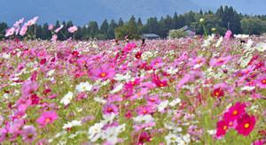 見頃を迎え、カラフルに咲き誇るコスモス=勝山市野向町薬師神谷で