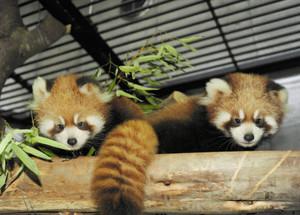 父親似(左)と母親似のシセンレッサーパンダの赤ちゃん=いしかわ動物園で(同園提供)