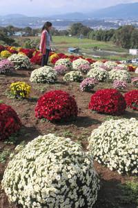 数多くの小菊が丸くなって咲くドーム菊=喬木村伊久間で