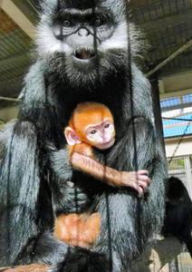 3日に生まれたフランソワルトンの赤ちゃん=鯖江市西山動物園で