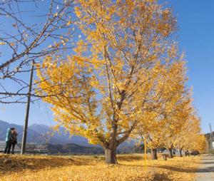 地面を落ち葉で覆い、美しい姿を見せる渡場イチョウ並木=中川村で