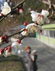 白梅が咲き始めた豊岡梅園。14日から一般開放が始まる=磐田市上野部で