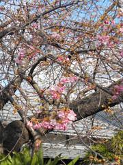 川沿いの並木はまだつぼみだが、河津桜の原木は一分咲きになった=河津町で