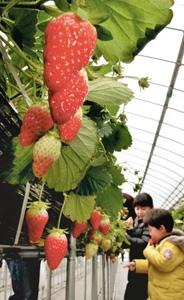 甘い香りを漂わせるイチゴ=甲賀市水口町で