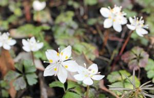 咲き始めたバイカオウレンの花=岐阜市椿洞の岐阜薬科大・薬草園で