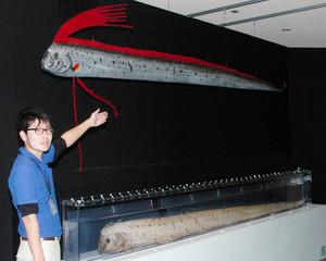 リュウグウノツカイの模型(上)と標本(下)=魚津水族館で