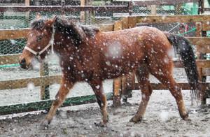 雪が舞う中、元気に動き回る対州馬「はるき」=富山市ファミリーパークで