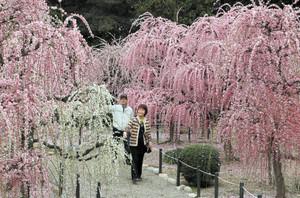 しだれ梅が満開となり、花の色と香りに包まれる梅園=津市藤方の結城神社で