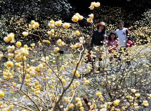 愛らしい黄色の花を咲かせるミツマタ=東近江市の百済寺で