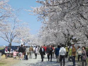 毎年多くの花見客でにぎわう「舟川べり桜並木」=朝日町で(昨年4月)