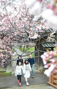 タカトオコヒガンザクラが開花した高遠城址公園=伊那市高遠町で