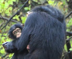 母親のマルコに甘えるチンパンジーのマモル(左)=犬山市の日本モンキーセンターで