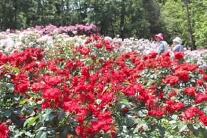 香り高く咲き誇るバラ=氷見市稲積で