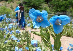 透明感のある色合いがきれいな「青いケシ」=大鹿村で