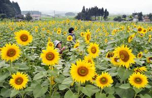 うっとうしい梅雨を吹き飛ばすように黄色の大輪を咲かせるヒマワリ=大野市のスターランドさかだにで