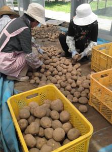 掘り採られた大きなジャガイモ=喬木村で