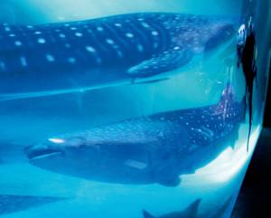 新たに展示が始まった雌のジンベエザメ(下)と先輩のモモベエ=石川県七尾市ののとじま水族館で