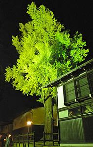 夜間ライトアップで幻想的に浮かび上がった大イチョウ=飛騨市古川町で