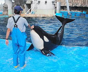 飼育員の福本さんの指導で訓練するリン=名古屋市港区の名古屋港水族館で