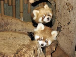 19日から公開されるレッサーパンダの双子の赤ちゃん=いしかわ動物園提供