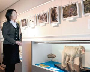 ニホンザルのはく製やかわいらしい写真が目を引く会場=富山市科学博物館で