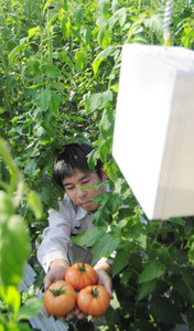 企業と共同開発した「あぐりログ」(上)と果汁が垂れにくいトマトの新品種「サンドパル」(下)=長久手市の県農業総合試験場で