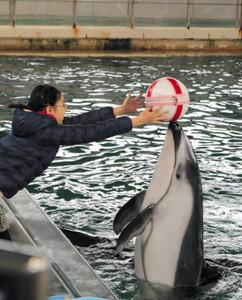チョコレートの入ったボールを届けるイルカ=七尾市ののとじま水族館で