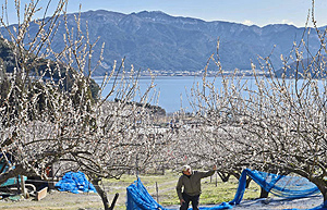 三方湖や山々と美しいコントラストを見せ一面に咲く白梅の花=若狭町田井で