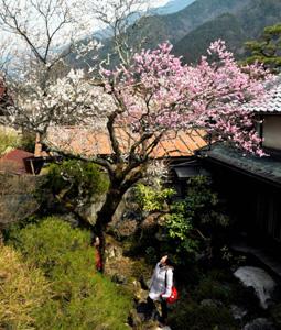 豪雪被害を乗り越えて、力強く咲き分ける紅白の梅の花=大桑村須原で
